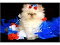Himalayan Persian kittens CFA  Beautiful flame points seal points blue points and tortie points