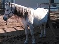 Magic was broke to ride when he was about 45 years old He has pretty much been out to pasture and