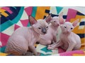 beautiful Don Sphynx kittens with blue eyes looking for a new home and loving family We have two bo
