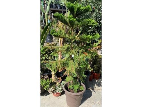 Gorgeous Pine