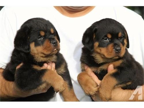 ZOSA Rottweiler Puppies