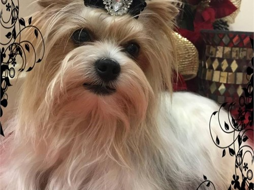AKC Parti Yorkie Stud | Pets | Anderson CA | recycler com