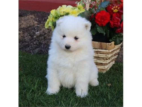DTHWB Samoyed Pups