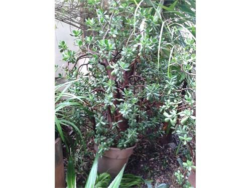Jade Tree 67 Inch Tall
