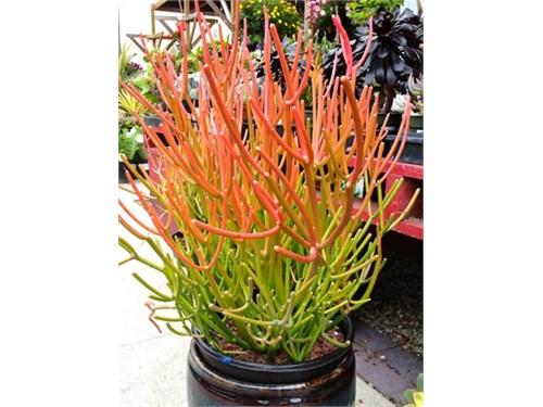Fire SticK Euphorbia