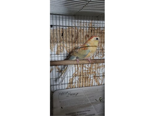 Female Red Rump Parakeet