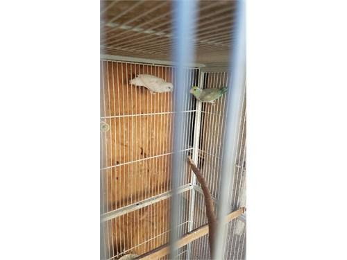 Parrotlets pair $200