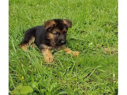 Amusing German shepherd