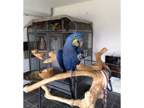 Hyacinth Macaw for sale.