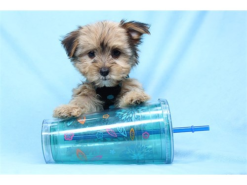 Teacup & Toy Morkie Pups