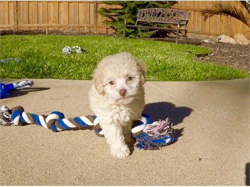 T CUP MALTIPOO PUPPY GIRL