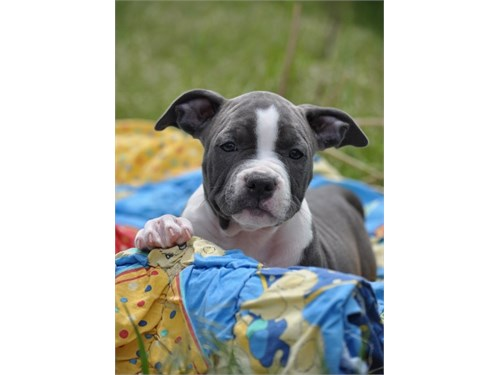 American Staffordshire T