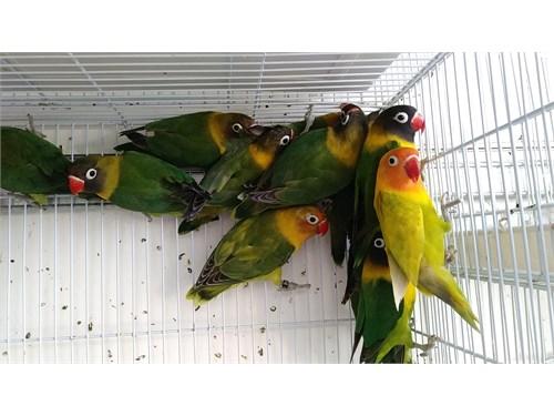 Masked Lovebirds