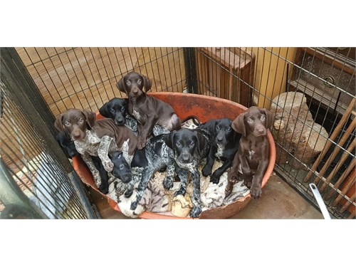 German Shorthaired Pointe