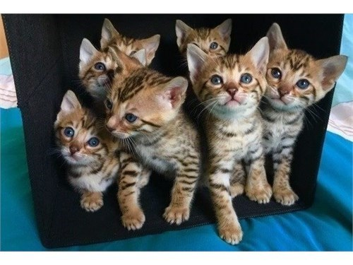 Bengal Cat Available.