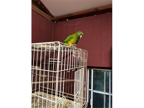 Blue Crown Parrot