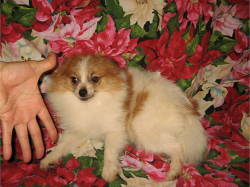 Purebred Pomeranian Pup