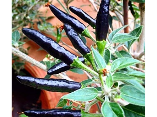 Black Cobra Chili Plant