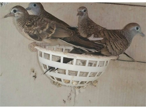 Zebra doves / male cape