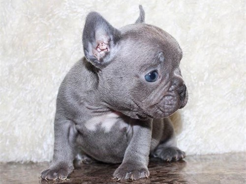 first-class Frenchie AKC
