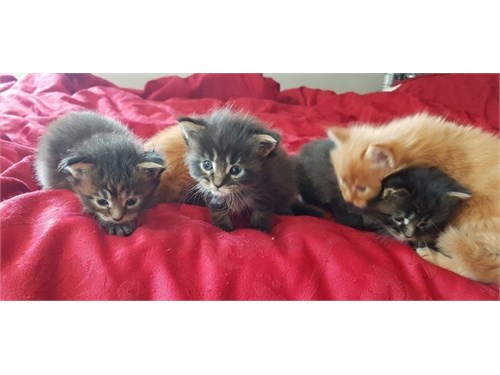 Maine Coon kittens coming