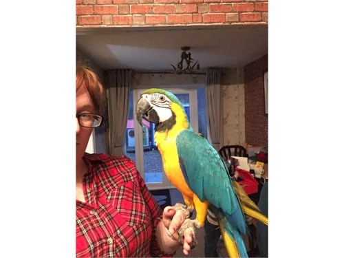 perfect Blue & Gold Macaw