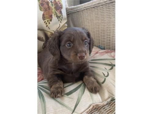 AKC Mini Dachshund Pups