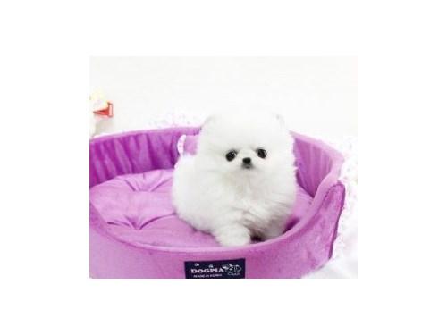 Top Quality Pomeranian