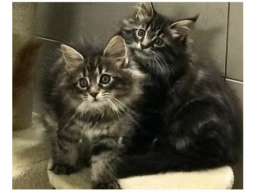 Brazen Maine coon Kittens