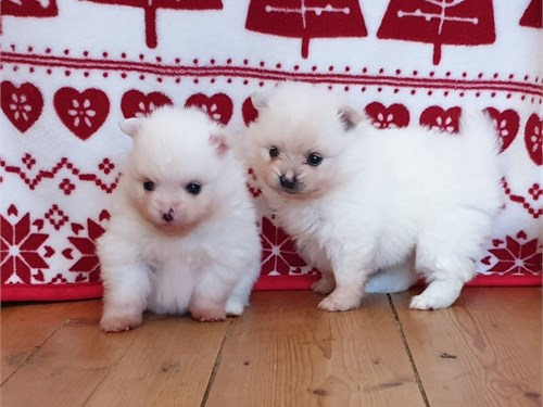 Ice White Pomeranian Pups