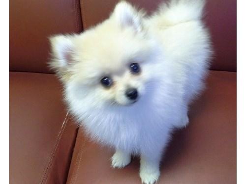 Humble  Pomeranian Pups