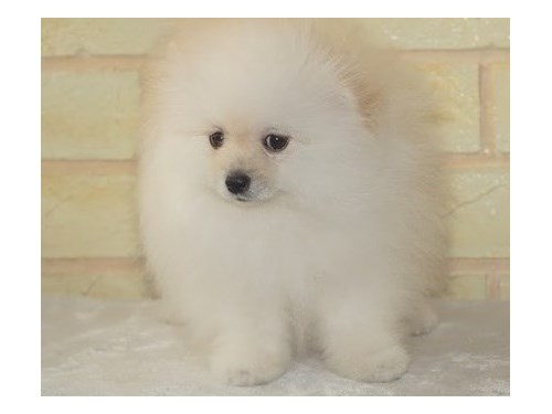 ALLOWING Pomeranian pup