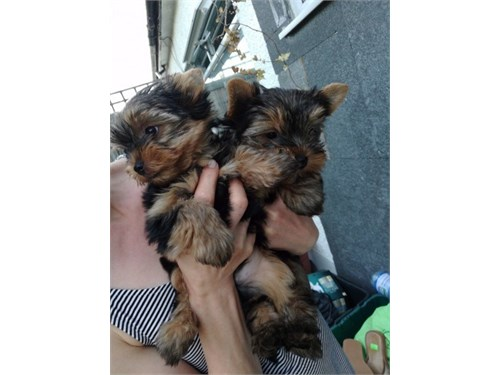 Male and female yorkie