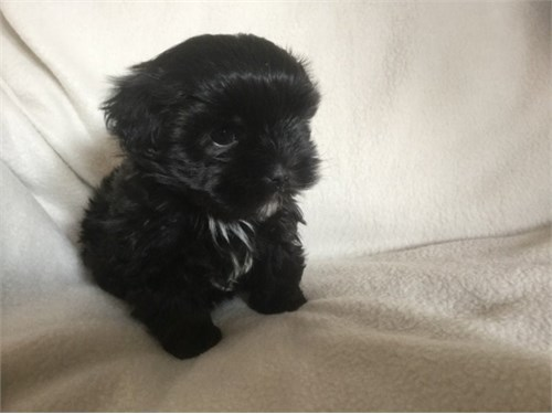 Black Male Shihpoo