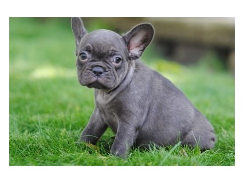 Affable French bulldog