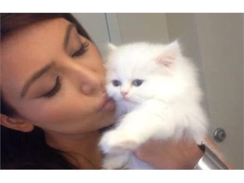 FDHHECD Persian Kittens