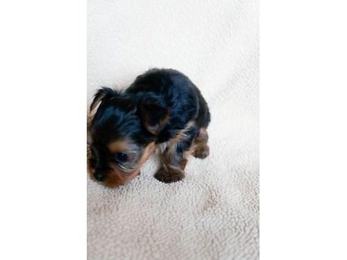 Toy Yorkie Puppy