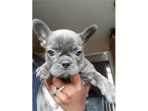 Champion Blue Frenchies