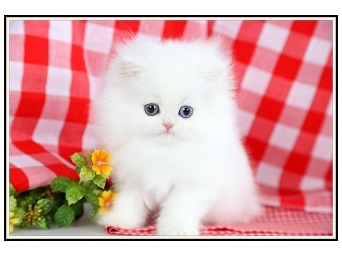 persian kittens now avail