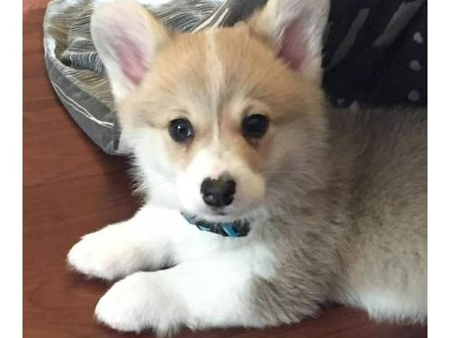 Welsh Corgi Puppies Avail
