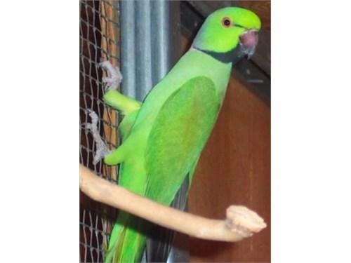 African Ringneck Parakeet