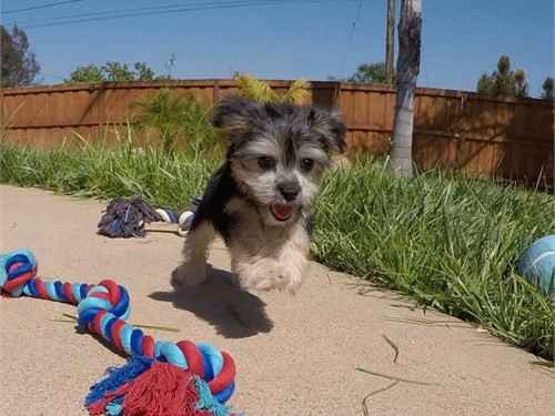 Male Morkie Puppy!! | Pets | San Diego CA | recycler com