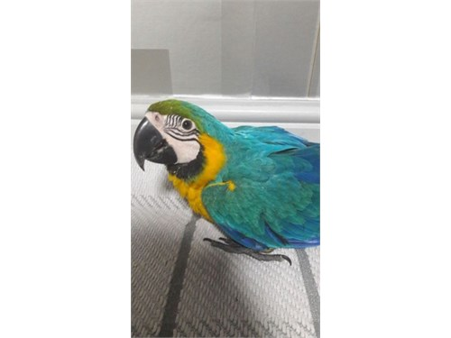 marvelous macaw available