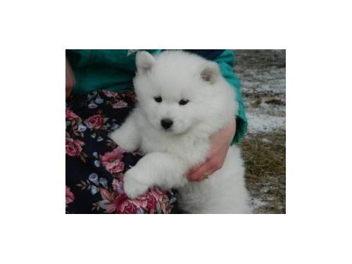 White Samoyed puppies rea