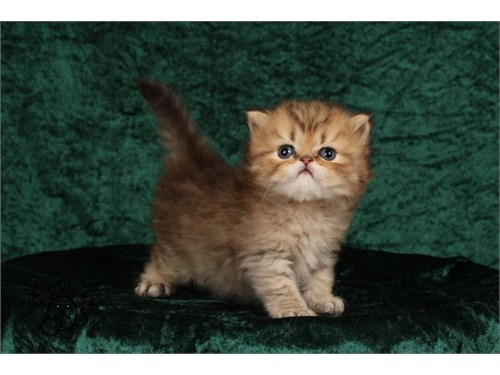 Beautiful Persian kittens