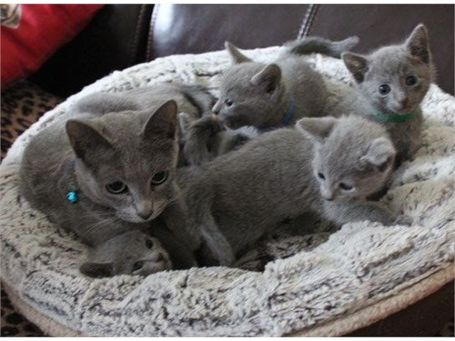 Russian Blue Ready Now
