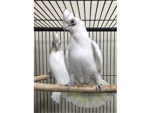 Bear eyed cockatoo pair