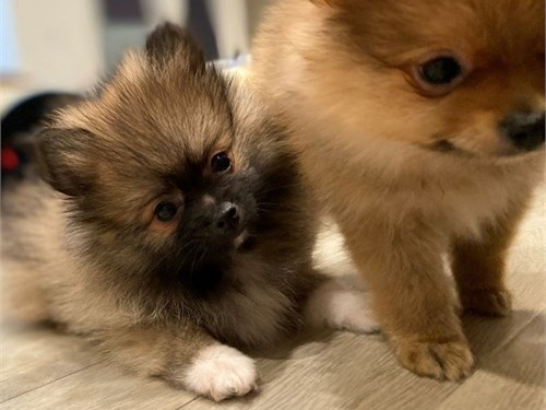Tiny Pomeranian 1Boy1Girl