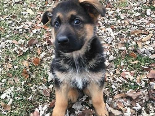 German Shepherd Pups Ava.