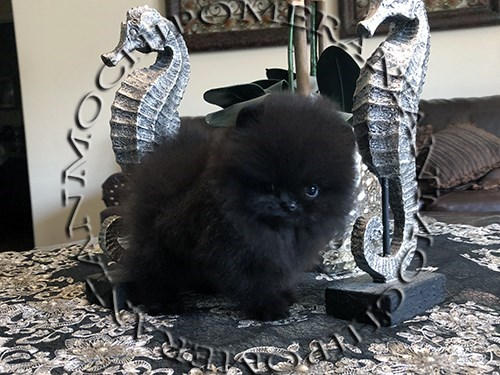 AKC Teacup Black Pom